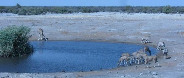 Giraffe drink, Etosha national park, Namibia
