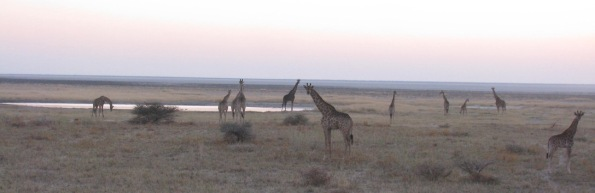 Giraffes at dusk in Etosha national park, Namibia