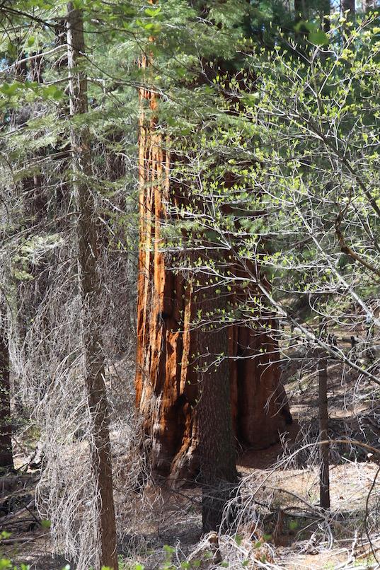 Giant sequoia, Yosemite,National Park
