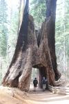 Sequoia, Yosemite NationalPark