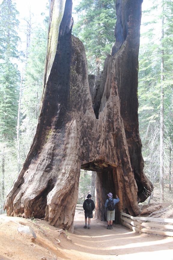 Sequoia, Yosemite National Park