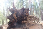 Felled sequoia, Yosemite National Park