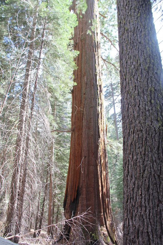 Giant sequoia, Yosemite,National Park