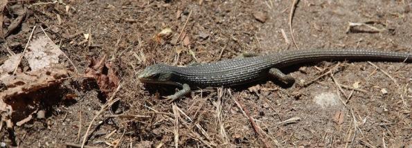 Lizard, Yosemite