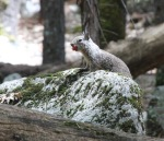 Squirrel, Yosemite