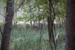 Mule deer, Zion National Park
