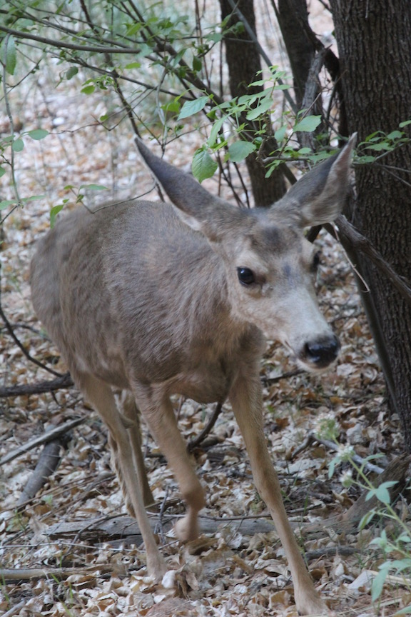Mule deer, Zion National Park