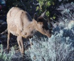 Deer, Grand Canyon