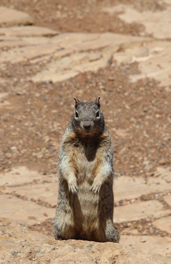 Squirrel, Grand Canyon
