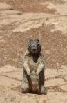 Squirrel, Grand Canyon
