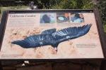 California Condor, Grand Canyon