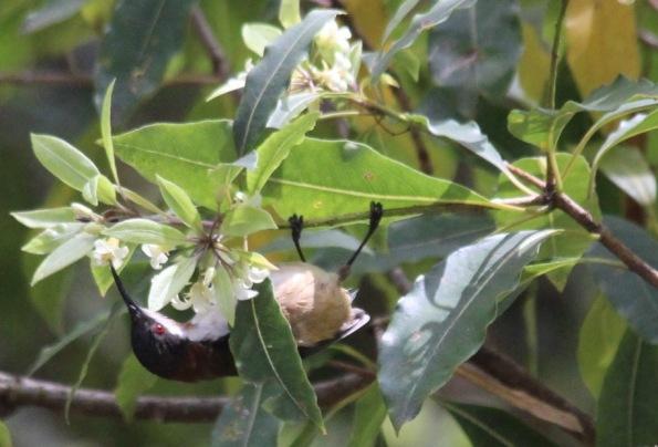 Honeyeater at Rosedale