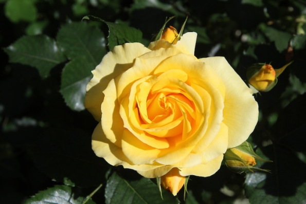 Yellow bunny rose