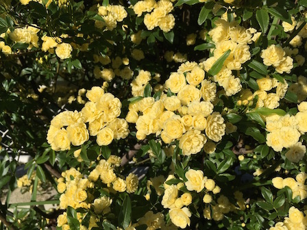 Maggie's banksia rose