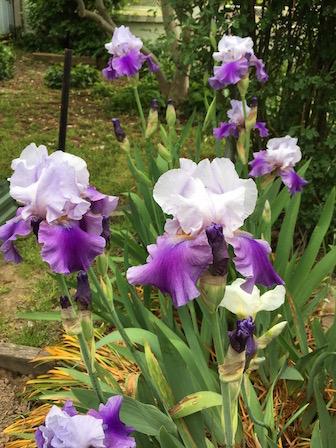 Maggie's irises