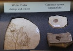 White cedar and Chamaecypar linguaefolia