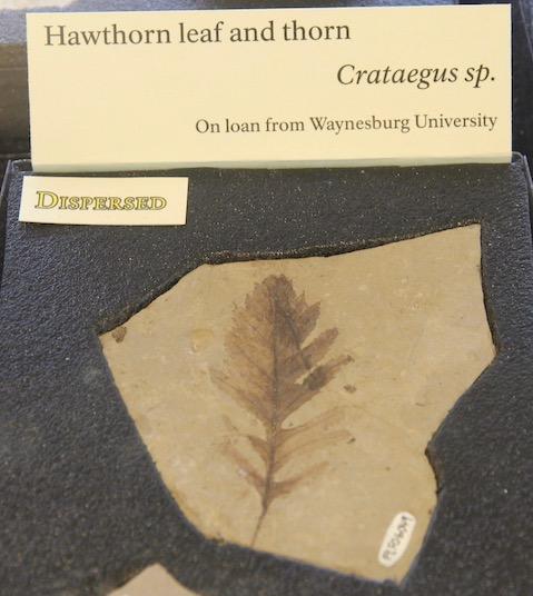 Hawthorn leaf and thorn
