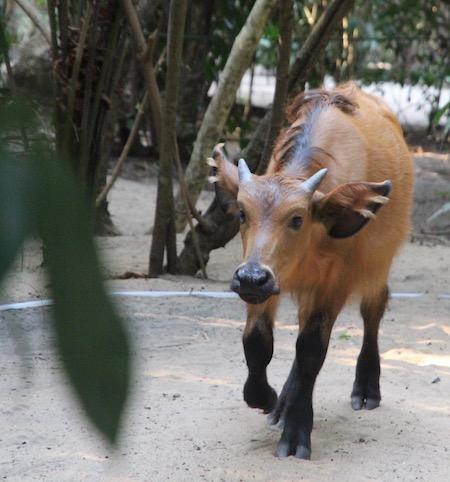 Small buffalo