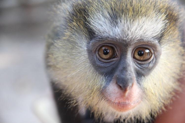 Campbell monkey