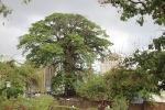 The Cotton Tree, Freetown, Sierra Leone