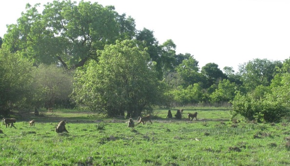 Baboons in Ghana, Mole National Park