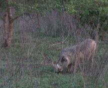 Warthog, Mole National Park, Ghana