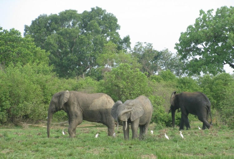 Elephants, Mole National Park, Ghana