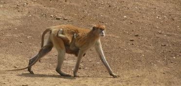 Monkey, Mole National Park, Ghana