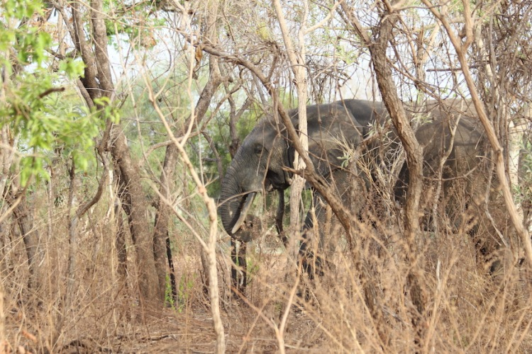 Elephant, Mole National Park, Ghana