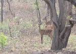 Antelope, Mole National Park, Ghana
