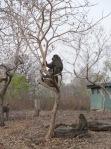 Baboons in Ghana