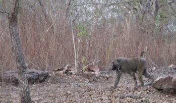 Baboon in Ghana