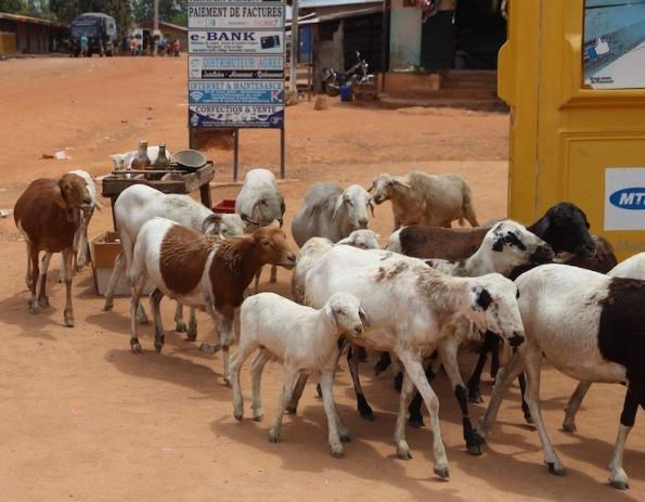 Goats to market, Nassian market, Ivory Coast