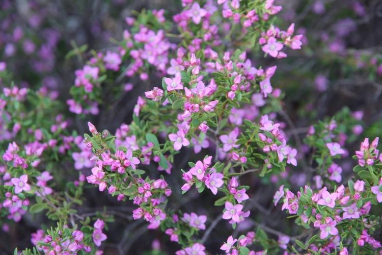 Boronia crenulata, Port Augusta, Australian Arid Lands Botanic Garden