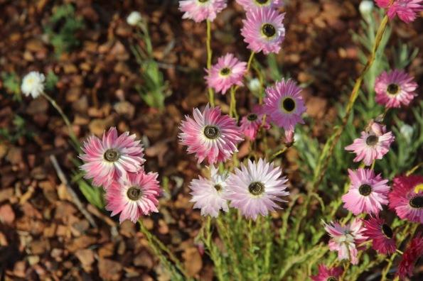 Rhodanthe chlorocephala ssp. rosea, Port Augusta, Australian Arid Lands Botanic Garden