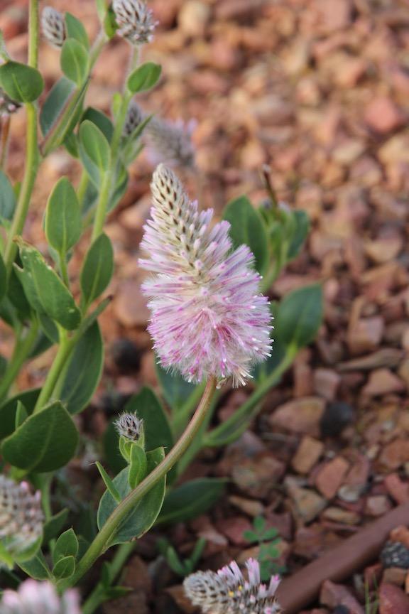Pink Mulla Mulla, Port Augusta