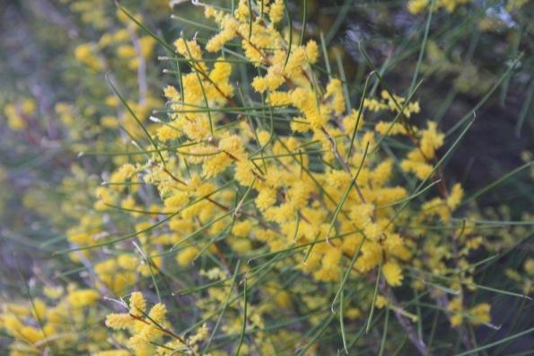 Acacia papyrocarpa, western myall,
