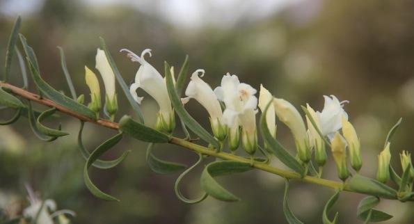 Eremophila, Native Fuchsia, Australian Arid Lands Botanic Garden