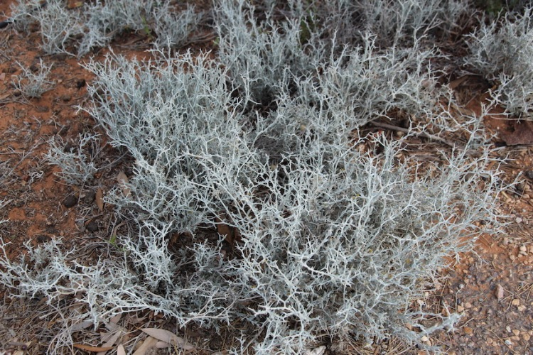 Spiny daisy (Acanthocladium dockeri), Port August, South Australia