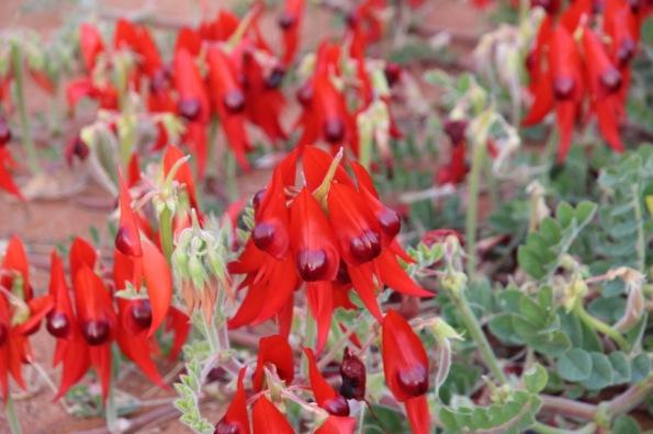 Sturt's Desert Pea, Port Augusta, South Australia's floral emblem